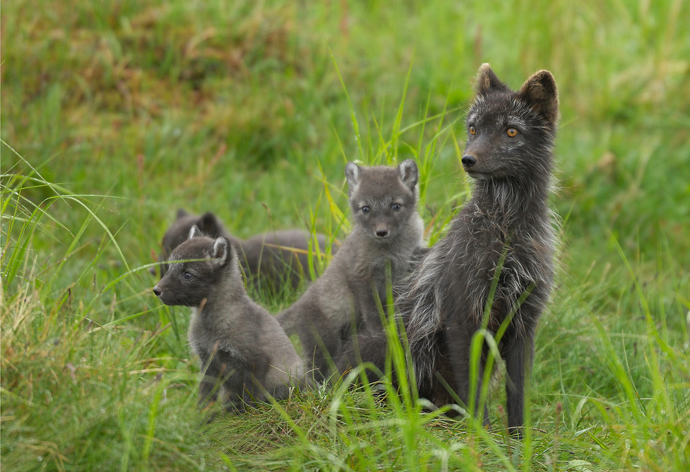 Arctic fox, Vulpes lagopus, Lapland, Västerbotten, Sweden. Female of the dark morph with its cubs at the den site.
