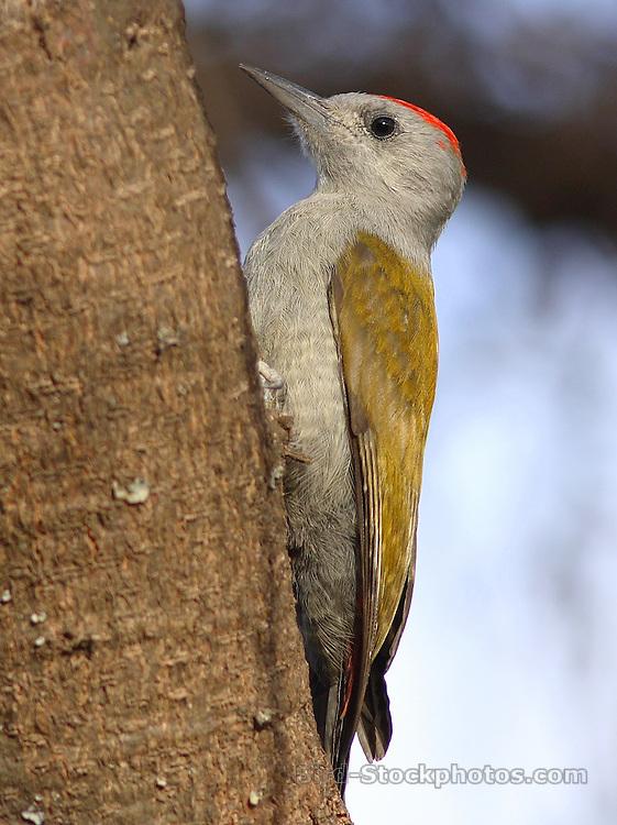 Eastern Grey Woodpecker, Dendropicos spodocephalus, Ethiopia, by Markus Lilje