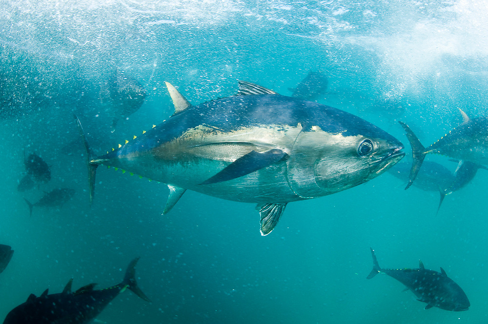 Captive Southern Bluefin Tuna (Thunnus maccoyii) held in a pen in Boston Bay in Port Lincoln, Australia. Port Lincoln is the major hub for Southern Bluefin Tuna fishing in Australia. The species is considered critically endangered. Image available as a premium quality aluminum print ready to hang.