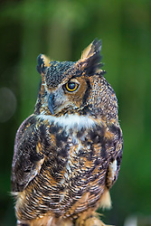With its long, earlike tufts, intimidating yellow-eyed stare, and deep hooting voice, the Great Horned Owl is the quintessential owl of storybooks. This powerful predator can take down birds and mammals even larger than itself, but it also dines on daintier fare such as tiny scorpions, mice, and frogs. It's one of the most common owls in North America, equally at home in deserts, wetlands, forests, grasslands, backyards, cities, and almost any other semi-open habitat between the Arctic and the tropics.<br />