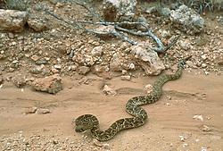 Rattlesnake slithering in a Desert in Lubbock, Texas