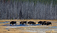 Bison herd in Yellowstone National Park against a burned forest