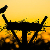 A Osprey stands watch over the nest overlooking the Currituck Sound in the outer Banks section of the town of Corolla, North Carolina. USA