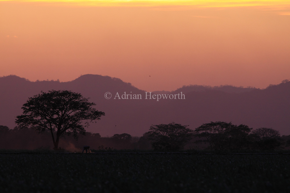 Farmer working ina field at sunset near Filadelfia, Guanacaste, Costa Rica.<br />