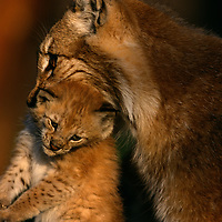 Eurasian Lynx, Lynx lynx, mother carrying baby kitten in her mouth, captive, Langedrag, Norway
