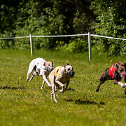Photography is from the CWA race meet, sponsored by the Pretty Darn Quick Whippet Club, which was held Arthurs Acres, in Milwaukee, WI. The event took place June 29, 2014.  Photography by Mel Carranza.