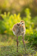 Young sandhill cranes are called colts. People are surprised the baby crane designation is the same as a horse. However with those long legs and their love of running they are similar, if only in theory.