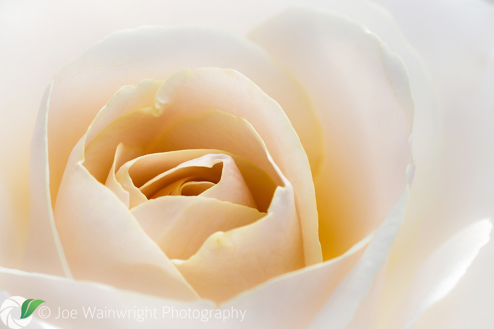 The subtle tones of this late flowering rose are complemented by the diffuse autumnal light.