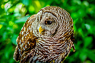 The Barred Owl, also known as northern barred owl, is a true owl native to eastern North America. Adults are large, and are brown to grey with barring on the chest. Barred owls have expanded their range to the west coast of the United States and Canada, where they are considered invasive.
