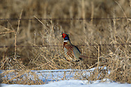 Rooster Pheasant behind barbed-wire fence in snowy habitat.