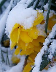 © Licensed to London News Pictures. 29/04/2016. Bradford UK.  Heavy snow covering spring daffodils in West Yorkshire.  Photo credit: Paul Thompson/LNP