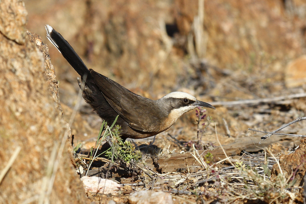 Grey-crowned Babbler, Pomatostomus temporalis, Australia, by Jonathan Rossouw