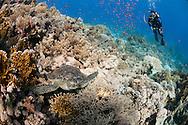 צב ים וצולל ביולנדה ריף, סיני
