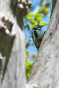 A great-spotted woodpecker, perched in a tree and framed against a tree in the foreground.
