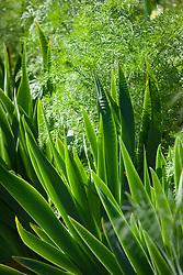 Iris and Ammi visnaga foliage