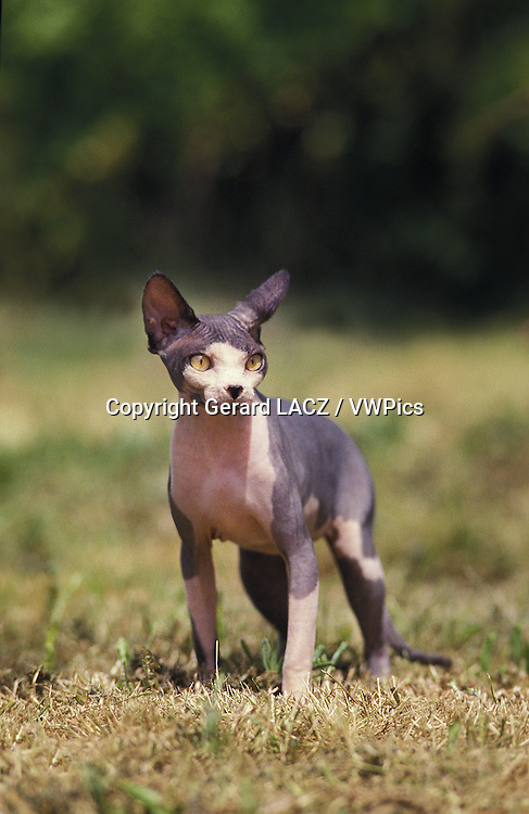 Sphynx Cat, a Domestic Cat Breed without Hair