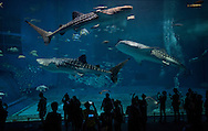 Full-grown whale sharks ease through the largest, Kuroshio Sea tank at the Okinawa Churaumi Aquarium.  Nago, Okinawa, Japan  The acrylic glass panel of 60 cm (24 inch) thick glass is one of the largest in the world.