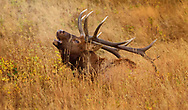 Bull Elk taking a break from the rut, while still letting the females know he is there