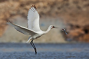 Common Spoonbill (Platalea leucorodia) swallows a fish, north Israel