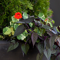 Variegated nasturtiums and purple sweet potato vine underneath a cedar shrub in a planter.