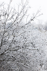 Hoar frost on sloes. Blackthorn. Prunus spinosa