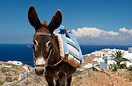 A donkey in a fiedl on Sifnos, The Cyclades, Greek Islands, Greece, Europe