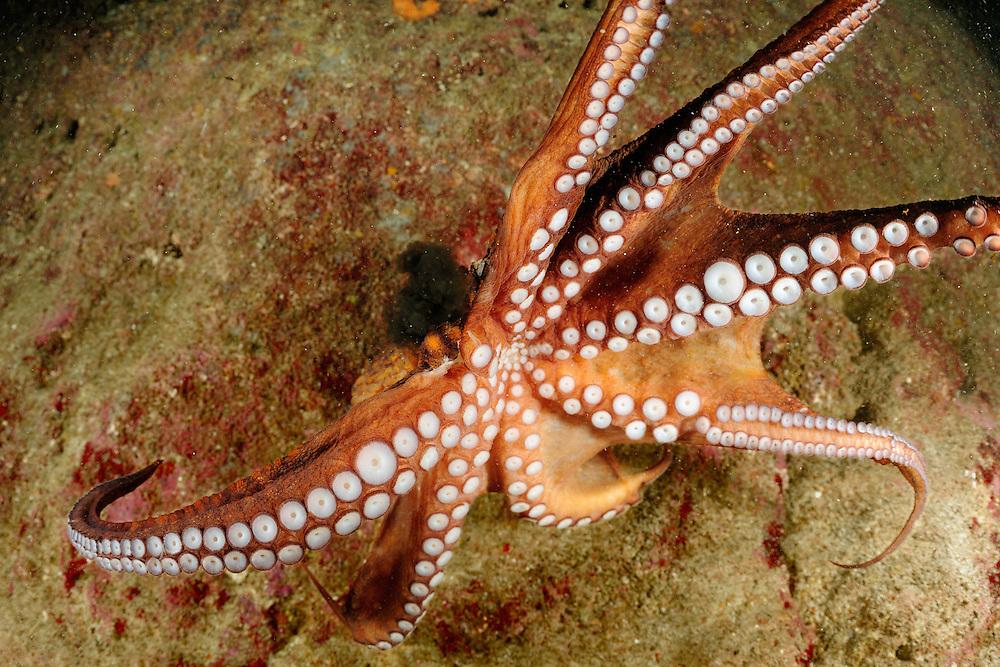 Octopus (Octopus vulgaris), Gozo, Maltese Islands.(Germ) Gewöhnlicher Krake