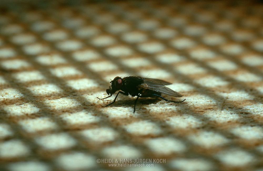 Deu, Deutschland: Stubenfliege (Musca domestica), sitzt im Schatten einer Fliegenklatsche, Cuxhaven, Niedersachsen | DEU, Germany: Housefly (Musca domestica), sitting in the shadow of a fly swatter, Cuxhaven, Lower Saxony |
