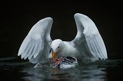 Glaucous gull (Larus hyperboreus) eating on bird chick in Spitsbergen, Svalbard