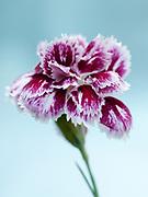 Dianthus 'Moortown Plume' - pink