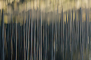 Abstract motion blurs of Kahikatea Forest at Bruce Bay, South West Coast, New Zealand