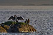 Skarv på skjær soltørker vingene sine | Cormorant on a rock sundrying it's feathers.