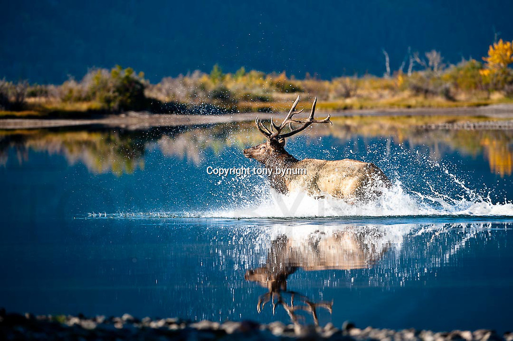 trophy bull elk running across calm blue water lunging water spraying fall trees in the background