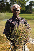 Rice harvest in Tamil Nadu. South India.