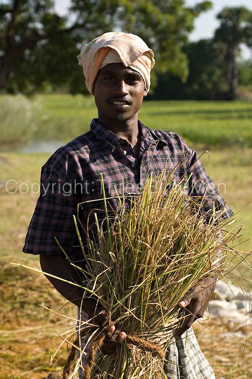Rice harvest in Tamil Nadu. South India.