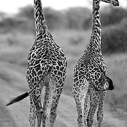 &ldquo;Giraffes (Twiga)&rdquo;                                              Tanzania<br />
