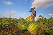 Agricultural workers collect watermelons in a field. Photographed in Israel in July