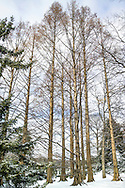 Metasequoia glyptostroboides (dawn redwood) in The Arthur and Janet Ross Conifer Arboretum at New York Botanical Garden, USA