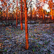 Regrowth after bushfire - Australia