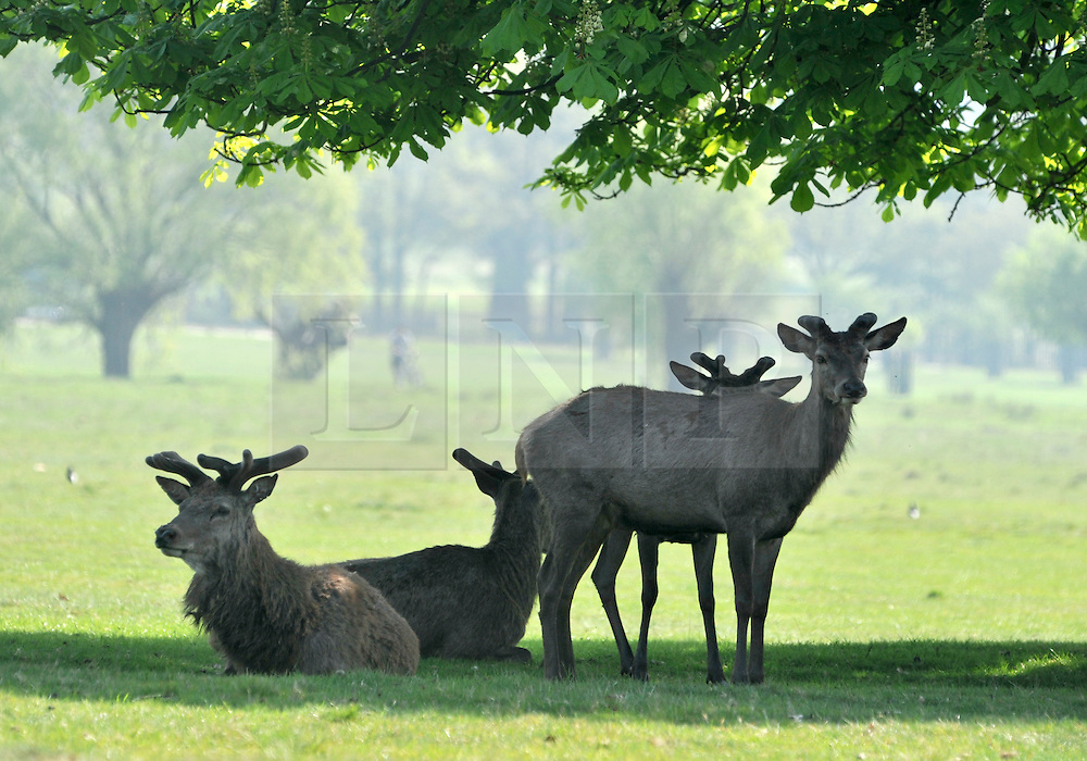 © licensed to London News Pictures. RICHMOND UK. 19/04/11. Deer in Richmond Park, Surrey take to the shade early this morning as temperatures are expected to hit 25 degrees Celsius in the South East today (19 April 2011) . Forecasters predict temperatures will continue to rise over the coming week .See special instructions for usage rates. Photo credit should read Stephen Simpson/LNP