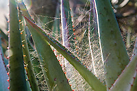 Spiders web set in amongst Aloe ferox leaves, Bontebok National Park, Western Cape, South Africa