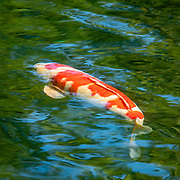 """Orange and white koi in blue-green pond. Koko-en is a Japanese style garden opened in 1992 on the former site of of the feudal lord's west residence (Nishi-Oyashiki) in Himeji, Japan. Kokoen has nine separate, walled gardens designed in various styles of the Edo Period (and used for movie-sets), including: a pond with a waterfall in the garden of the lord's residence; a tea ceremony garden and house; pine tree garden; bamboo garden; and flower garden. Ornamental Koi (nishikigoi, """"brocaded carp"""") were selectively bred from domesticated common carp (Cyprinus carpio) in Japan starting in the 1820s. If allowed to breed freely, the koi subspecies will revert to original carp coloration within a few generations. Native to Central Europe and Asia, carp were first bred for color mutations in China more than a thousand years ago, where selective breeding of the Prussian carp (Carassius gibelio) eventually developed goldfish (Carassius auratus), which is a species distinct from common carp and koi."""