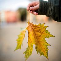Child's hand holding a plane tree leaf, Seville, Spain