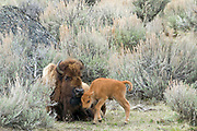 MOTHER'S DAY, GIVE OR TAKE A WEEK | Bison (Bison bison) and a newborn in anchient sagebrush forest. Late April.