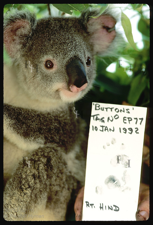 Year-old koala, Buttons, eyes own fingerprint card used as ID @ Univrsty of Queensland; Brisbane Australia