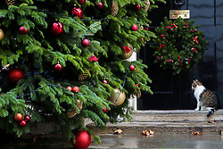 © Licensed to London News Pictures. 2/12/2018. London, UK. Larry, the 10 Downing Street cat and Chief Mouser to the Cabinet Office sitting on the step of No 10 Downing Street as a giant Christmas tree with decorations is installed outside the British Prime Minister Theresa May's residence in Westminster. Photo credit: Dinendra Haria/LNP