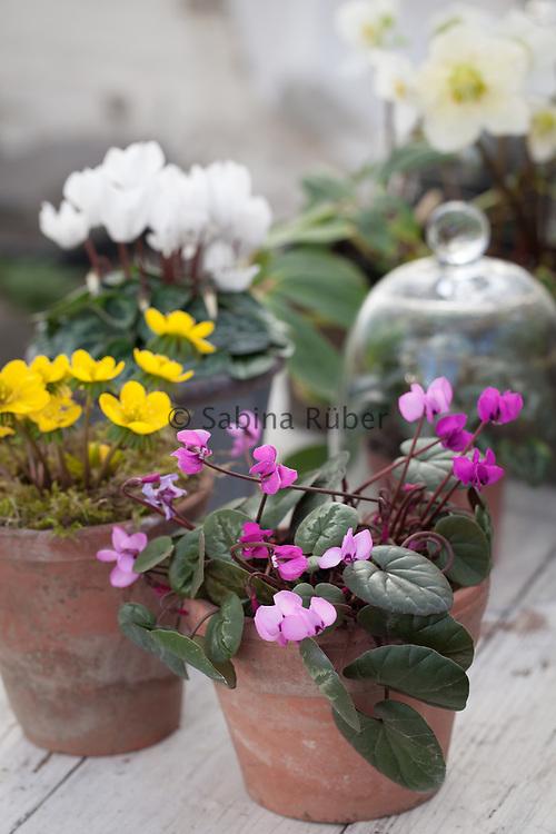 Spring arrangement with Cyclamen coum, Eranthis hyemalis Cilicica Group, Cyclamen hederifolium and Helleborus niger