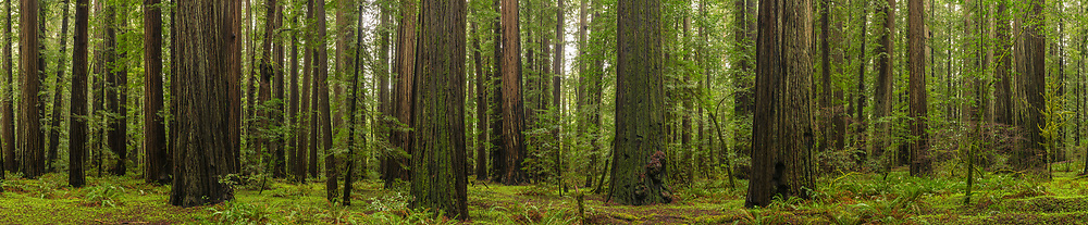 Panorama of California Coastal Redwood trees (Sequoia Sempervirens) Humboldt Redwoods State Park, Humboldt County, California