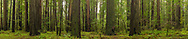 Panorama of California Coastal Redwood trees (Sequoia Sempervirens) Humboldt Redwoods State Park, Humboldt County, California
