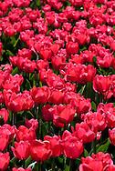 Red Tulip Garden